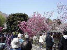 三ツ池公園は花見客で大賑わい