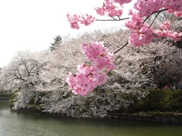 桜が満開!三ツ池公園